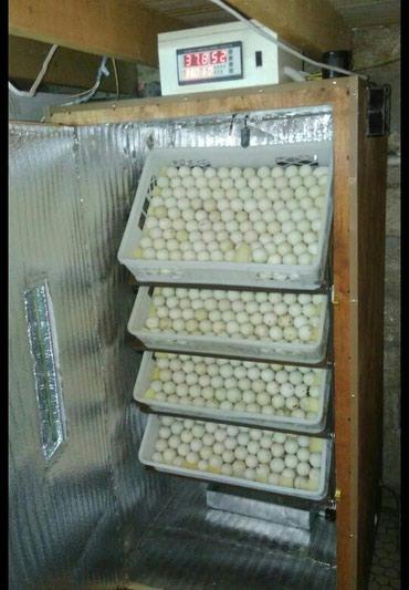 Bakı şəhərində Inkubator. 560 yumurtalik tam avtomatik inkubator satiram. elave