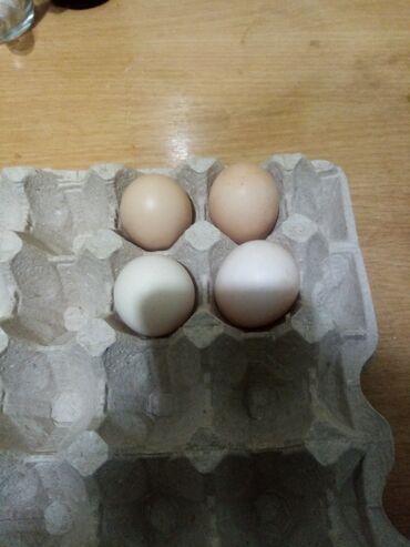 Продаю | Инкубационные яйца | Для разведения