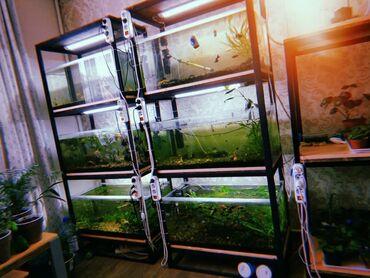 Аквариумы - Кок-Ой: В связи с переездом продаю готовый бизнес по разведению аквариумных