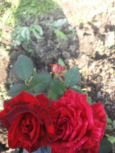 Корни роз. разных сортов и цветов. для посадки. в Сокулук