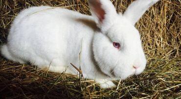 Кролик Новозеландская Бройлерная  мальчик