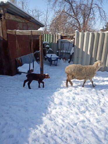 Бараны, овцы - Назначение: Для разведения - Бишкек: Продаю   Овца (самка)   Полукровка   Для разведения   Ягнившаяся