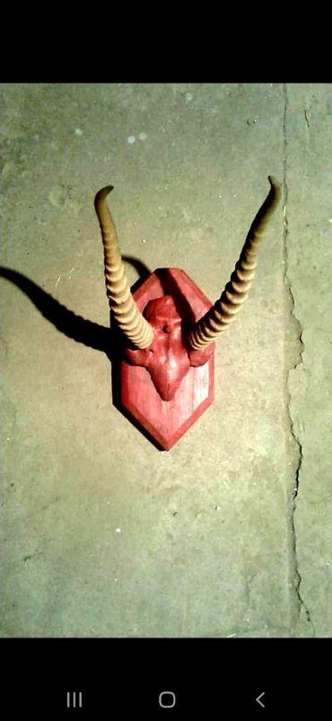 Другие предметы коллекционирования - Кыргызстан: Продам красивые рога сайгак рога косули и рога козерога 60см