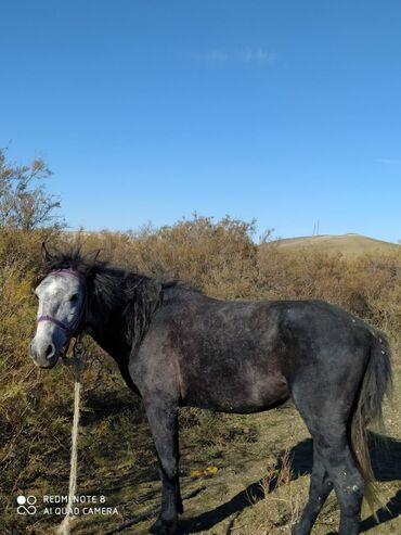 - Azərbaycan: Satilir yorga atlar tecili olaraq. isdeyen gelib minib baxa