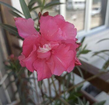 Комнатные растения - Сокулук: Олеандр большие ! Оптом от 5 шт!