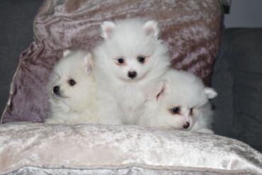 12 εβδομάδες παλιά κουτάβια Pomeranian12 εβδομάδων, εντυπωσιακό σε