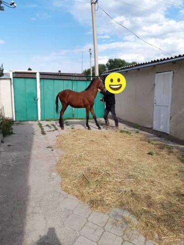 куплю-домашнее-животное в Кыргызстан: Таза кандуу Кунан Байтал сатылат