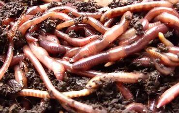 Соолжан.Калифорнийские черви.Биогумус качественный. Гарантия 100%. Чёр