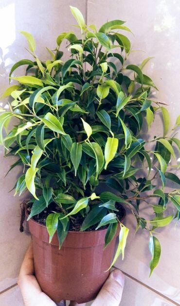 Ficus Bendzamin - 600