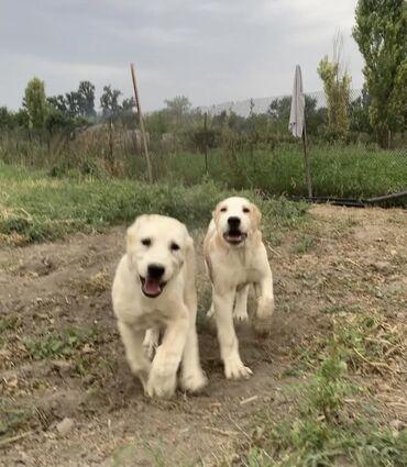 Салам алейкум братья сестра продаются отличный щенки от отличных