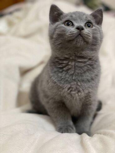 Βρετανικά γατάκια Shorthair προς πώλησηΒρετανικά γατάκια Shorthair