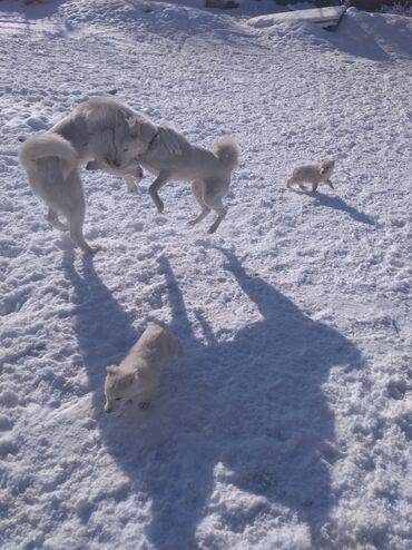 сибирский ель в Кыргызстан: Чистокровные заподно- сибирские лайки