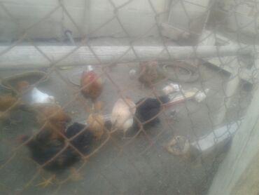 Животные - Кочкор: Сатылат тоок балапандар несушка да бар 100 ш бар Балыкчыда