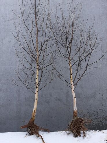 Sadnice bele breze Kontakt: 062/322-666 Sadnice BELE BREZE (betula al