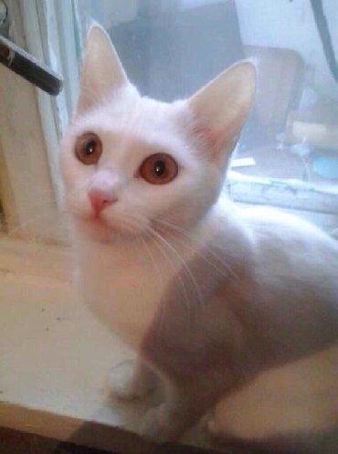 бенгальская кошка домашняя в Кыргызстан: Кошка белая, хорошо воспитанная обсолютно домашняя на улицу не