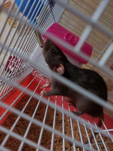 продаю фольксваген транспортер т2 бишкек в Кыргызстан: Продаю трёх крыс вместе с клеткой, уступка реальным покупателям буде