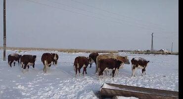 шпатлевка уют цена бишкек в Кыргызстан: 2 месяца 60 кг 3 месяца 80 кг4 месяца 110 кг 5 месяца 130 кг цена