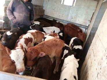 Животные - Покровка: Ош обулусу кара суу району