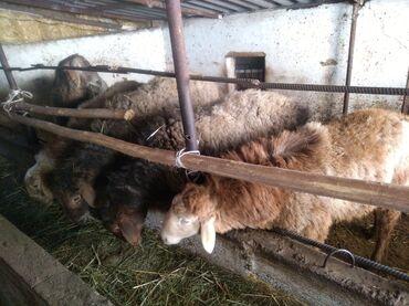 Гисар кой - Кыргызстан: Продаю   Овца (самка)   Для разведения