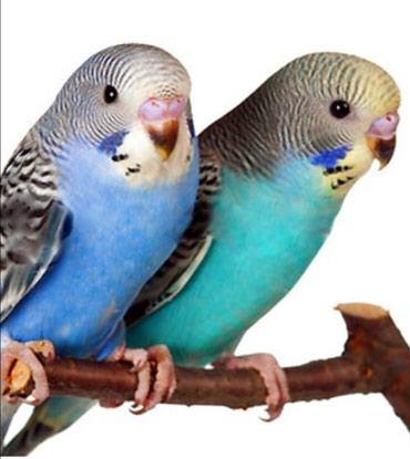 Волнистые попугайчики хорошо разговаривают и приручаются к рукам а так