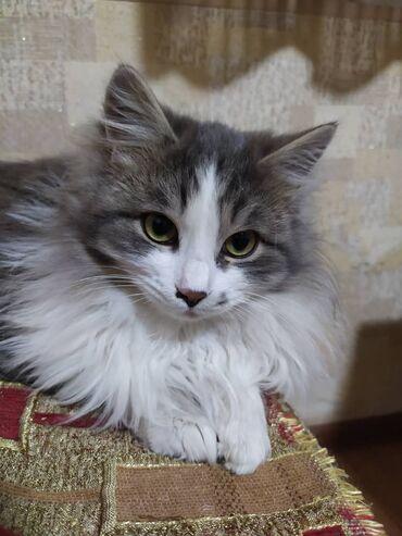 Коты - Кыргызстан: Отдам котят в добрые руки. 1 фото-мальчик,7 месяцев. 2 фото-мальчик7