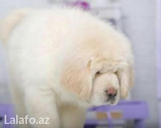 Bakı şəhərində Самый редкий белый щенок Тибетского Мастифа