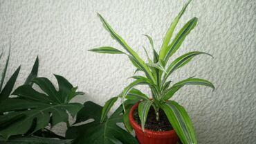 Dracena Lemon Lime,Velika, raskošnog rasta, 55 centimetara visina sa s