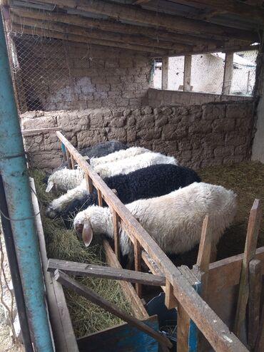 Продаю | Овца (самка) | Гиссарская | На забой, Для разведения | Ярка