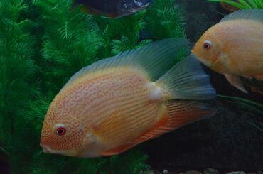 Аквариумы - Кыргызстан: Цихлиды-Аквариумные рыбки для Вашего аквариума! Разнообразие видов и