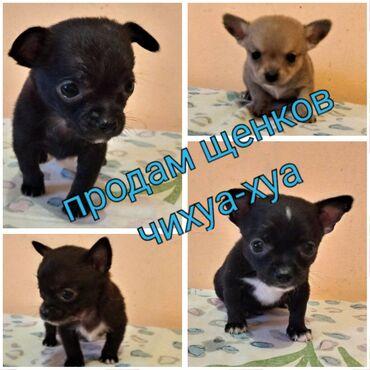 Животные - Масазыр: Продам щенков чихуа-хуа. Забавные игривые ласковые звоночки. Рождены