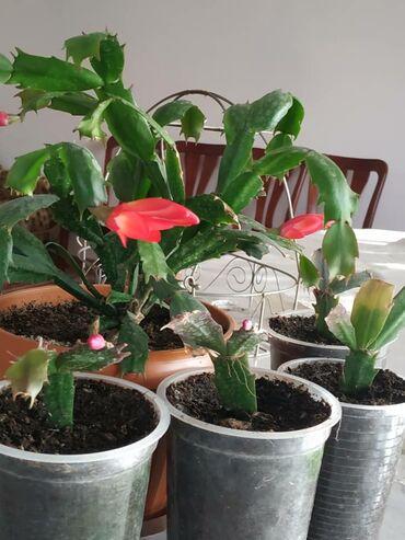 Комнатные растения - Сокулук: Продаю детки декабриста