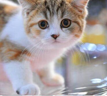 Нужен кошка. Г. ДЖАЛАЛ-АБАД .  У кого есть звоните