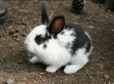 Грызуны - Кыргызстан: Кролчата 1месяц по 200