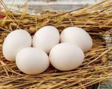 Продаю | Инкубационные яйца | Леггорн