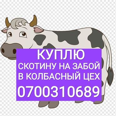 Каракол кой - Кыргызстан: Куплю   Коровы, быки   Любое состояние