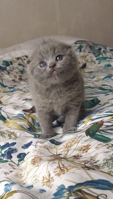 Продаются котята шотландский скоттиш фолд, скоттиш страйт