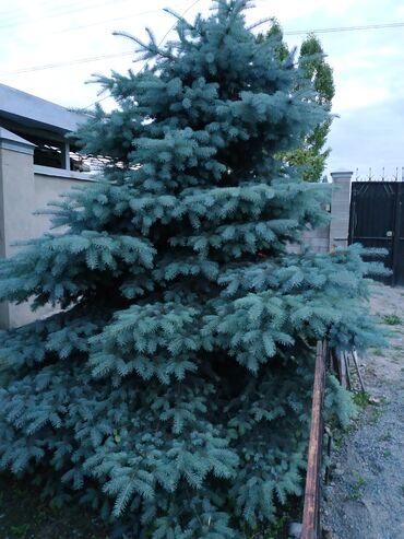 Профнастил крыша цена - Кыргызстан: Срочно продам голубой ель,цена договорная