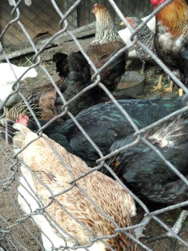 Животные - Шопоков: Продаю домашних кур, молодые несутся. Пять куриц и три петуха. В