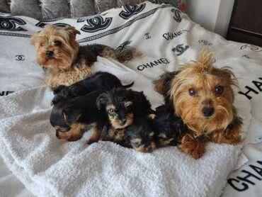 Tiny Yorkshire Terriers Έτοιμο τώραΈτοιμοι τώρα Έχω 3 άντρες και ένα