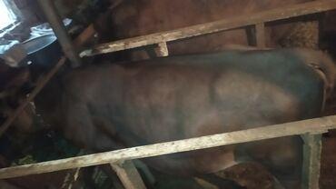 Животные - Дачное (ГЭС-5): Продаю | Корова (самка), Тёлка