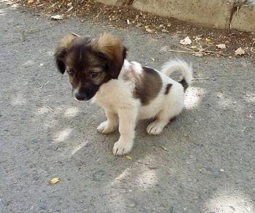 Шеночек 2-3 месяца, девочка,вырастит в Бишкек