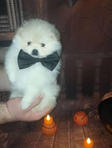 Πώληση κουτάβια PomeranianΑρσενικά και θηλυκά κουτάβια Pomeranian προς
