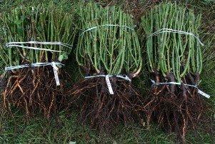 Саженцы - Кыргызстан: Продаю саженцы роз с открытой и закрытой корневой системой, (