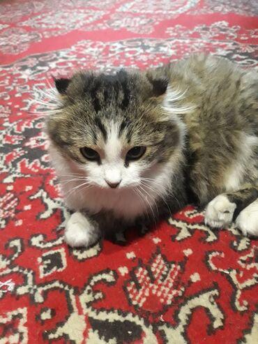 ищу кошку в Кыргызстан: Продаю кошку девочка