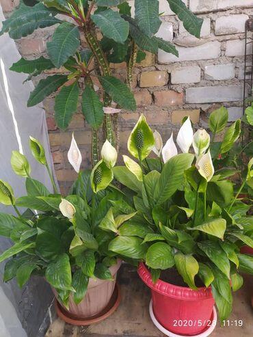 Другие комнатные растения - Кыргызстан: Цветы комнатные
