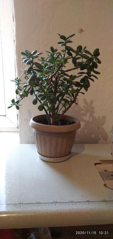 Денежное дерево за 1000