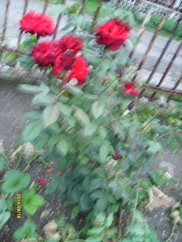 Sadnice cveca RUZE -formirane sadnice u sezoni odmah cvetajuce . Cena - Bor