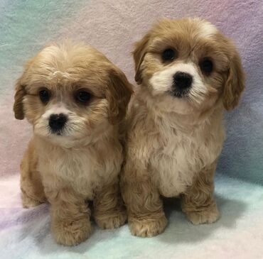 Cavachon Both genders available, vaccinated and wormed potty trained