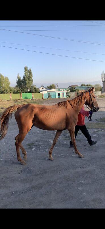 19 объявлений   ЖИВОТНЫЕ: Продаю   Кобыла (самка)   Английская   Конный спорт   Племенные