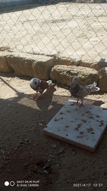 Salam Aleykum çütdülər çil ağbaş mayadı bala verən quşlardı 2 3 saat
